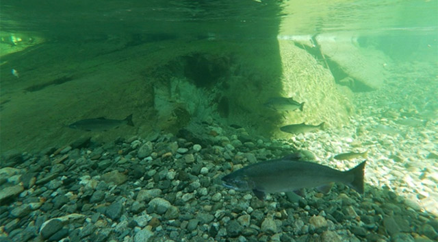 Reintroducing Adult Coho Salmon to the Seymour and Coquitlam Water Supply Areas